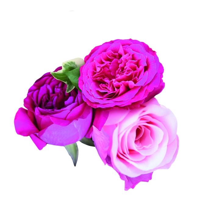 British Rose Roses